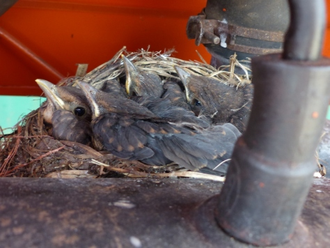 Blackbird nestlings