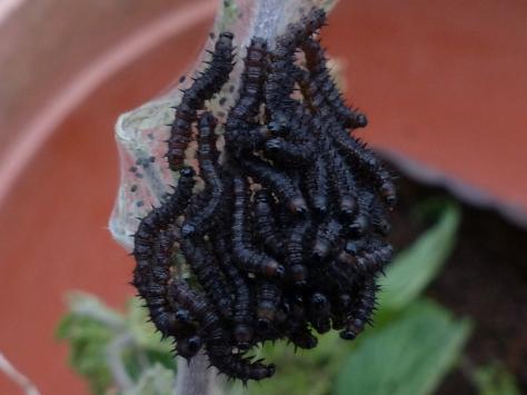Peacock Larvae