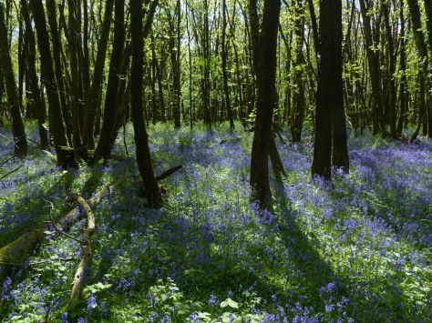 Bluebell woods (Hyacinthoides non-scripta)