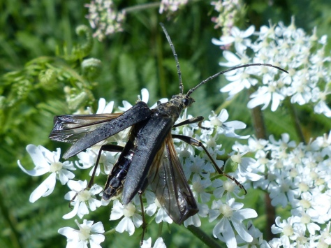 Variable Longhorn