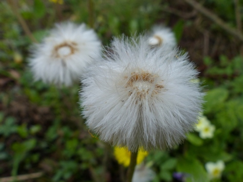 Coltsfoot seed head (Tussilago farfara)