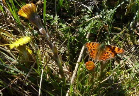 .Comma Butterfly on Coltsfoot