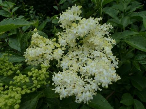 Elder flowers (Sambucus nigra)